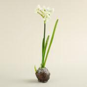 White  Narcissus Bulb