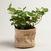 Live Green Ivy in Burlap