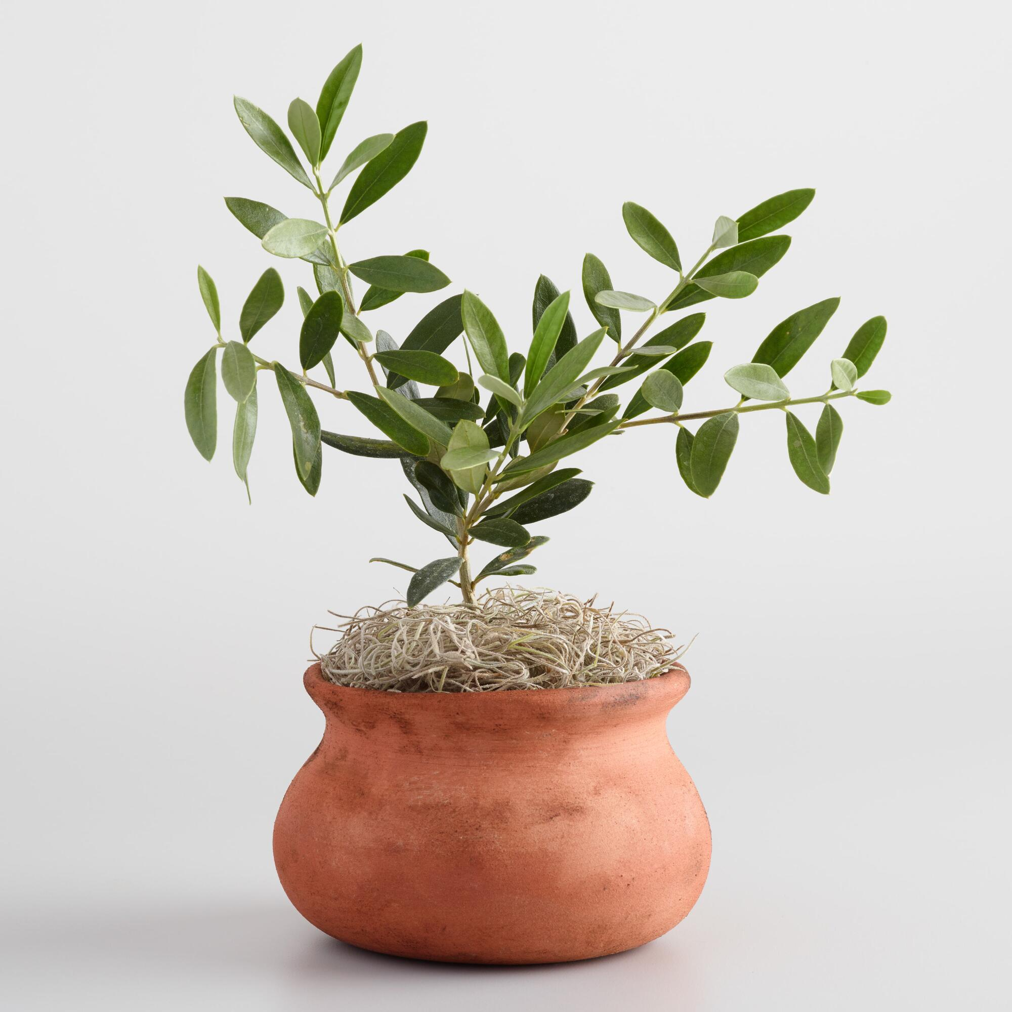live olive tree in terracotta pot world market