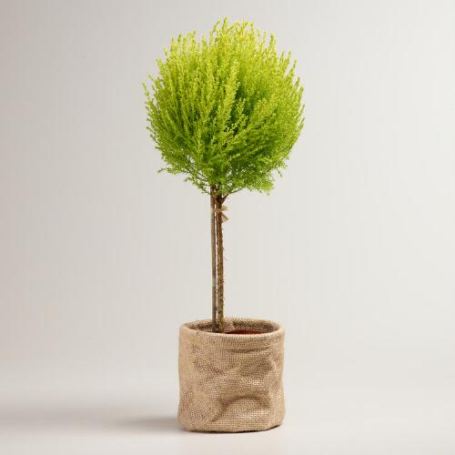 Live Cypress Cone Tree in Burlap