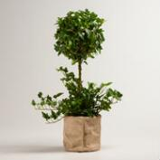 Live Ivy Topiary Plant in Burlap