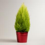 Live Lemon Cypress Cone in Red Pot