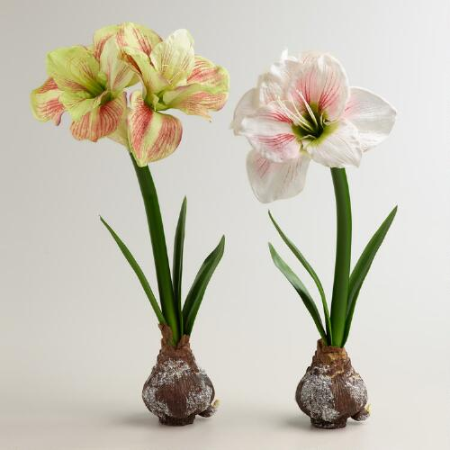 Striped Amaryllis Bulbs, Set of 2
