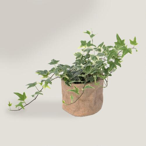 Live Variegated Ivy in Burlap