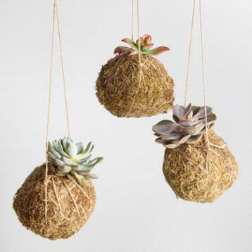 Live Kokedama Hanging Succulents Set of 3