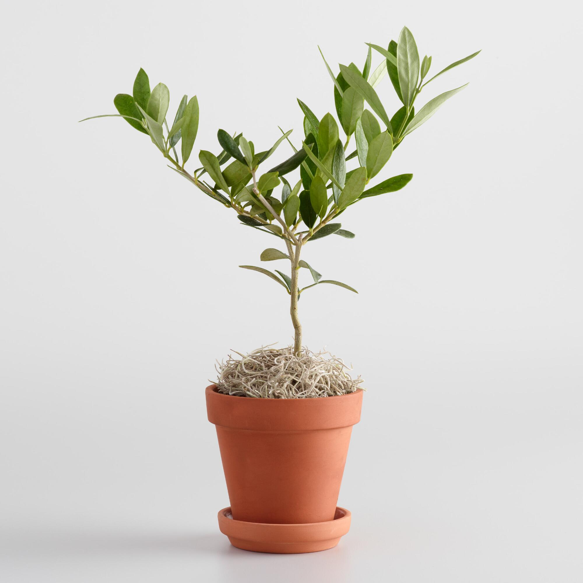 live mini olive tree in terracotta pot with saucer world