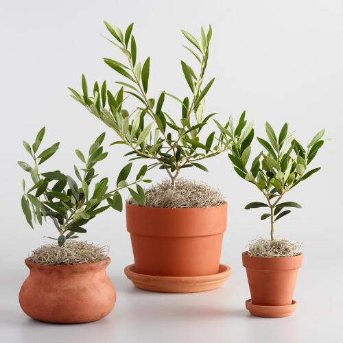 Live Olive Tree in Terracotta Pot with Saucer Collection