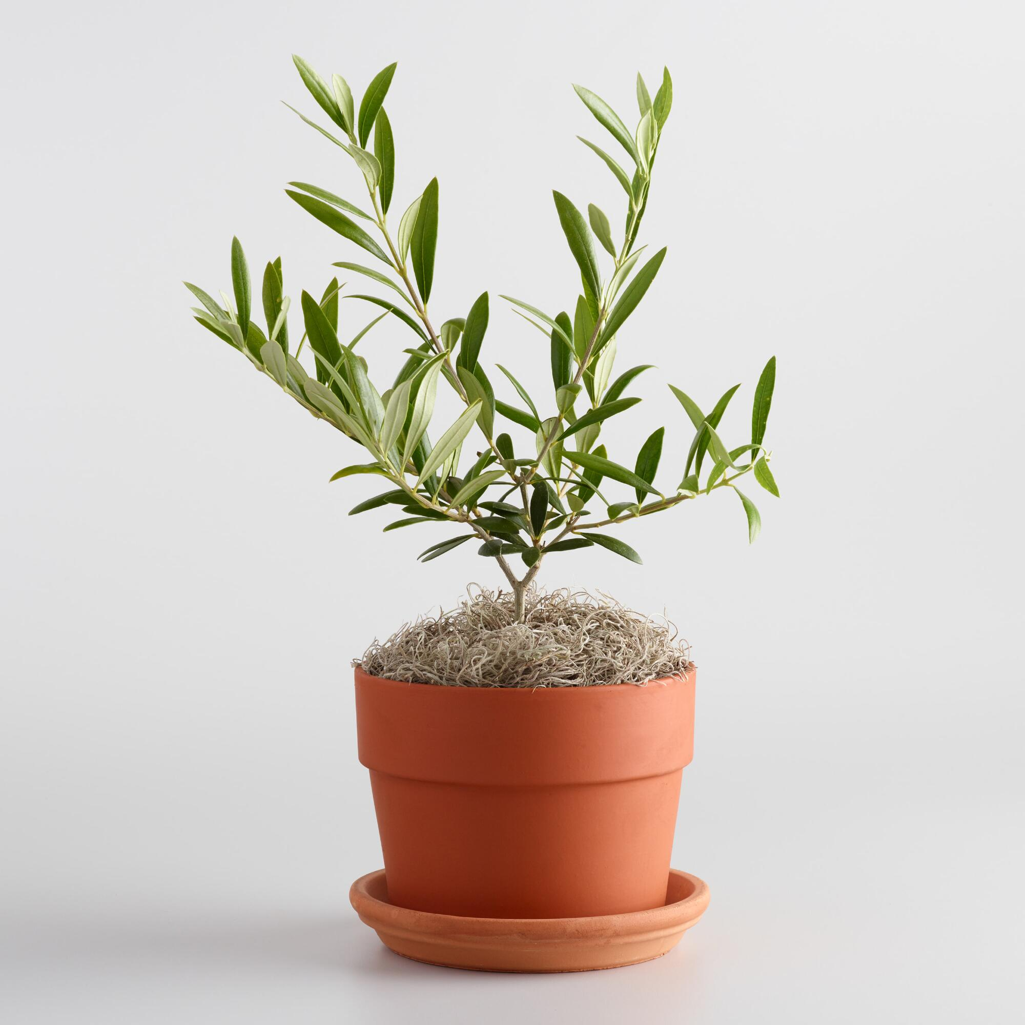 live olive tree in terracotta pot with saucer world market