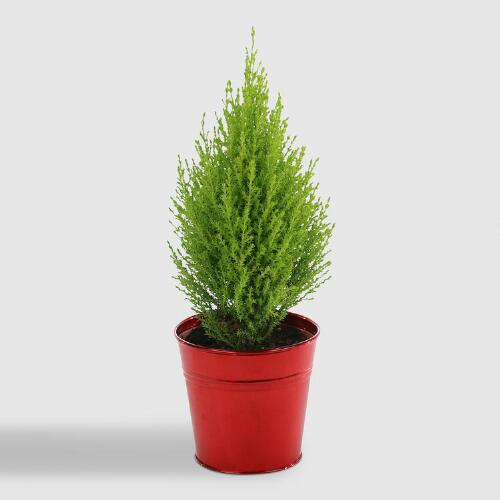 Live Lemon Cypress in Red Tin Pot