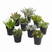 Large Assorted Live Potted Succulents