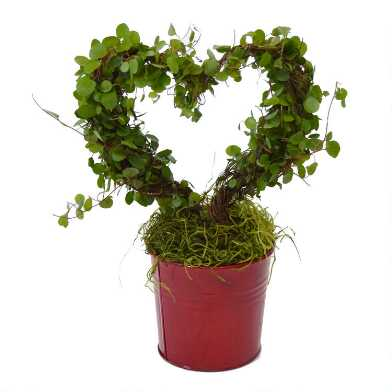Live Angel Vine Heart Topiary in Red Tin Pot