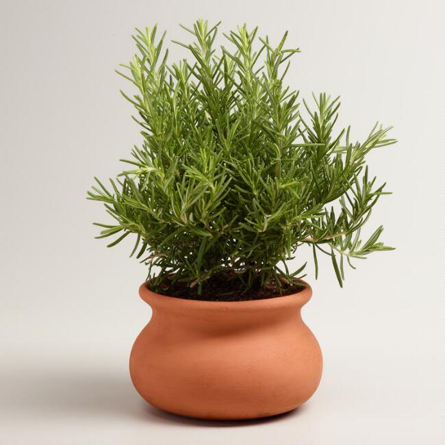 Live Rosemary Tree in Terracotta Pot