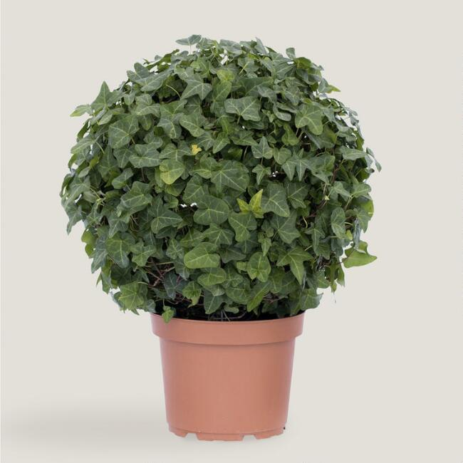 Small Live Ivy Globe Topiary
