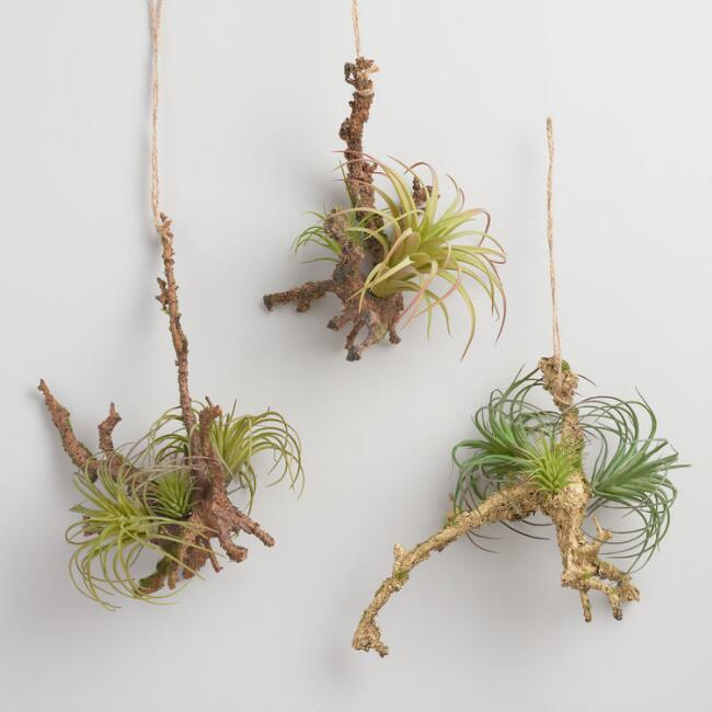 Hanging Twigs with Air Plants Set of 3