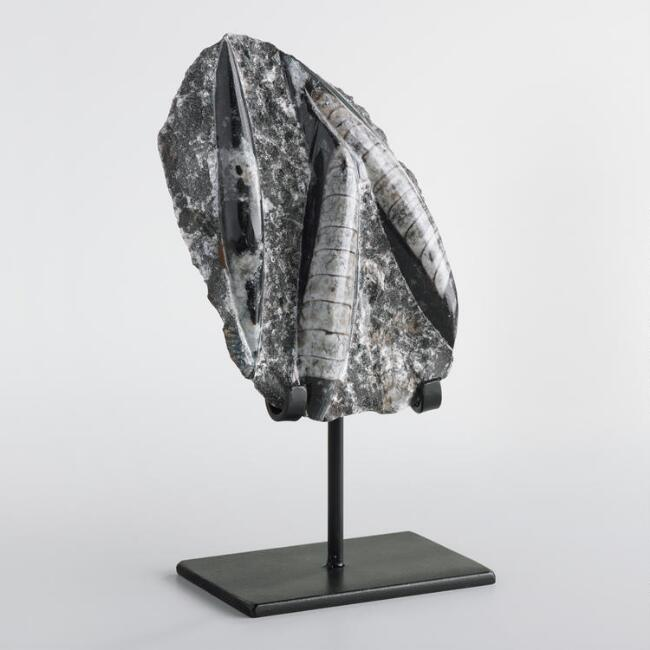 Black Natural Moroccan Fossil on Stand