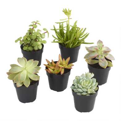 Small Assorted Live Potted Succulents
