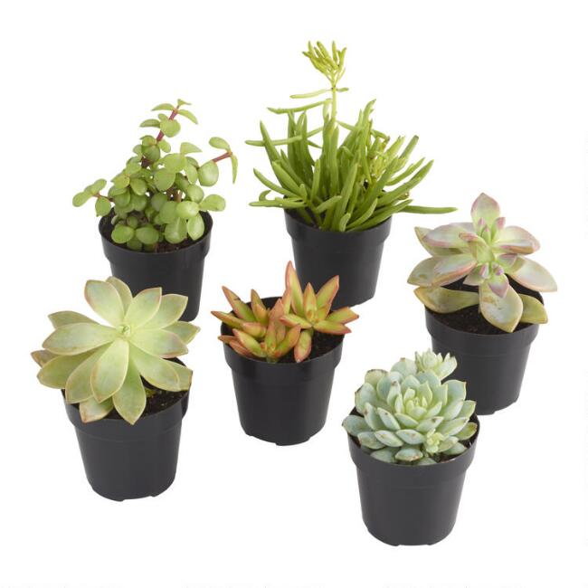 Small Assorted Live Potted Succulents World Market