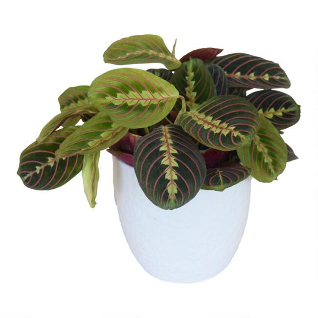 Live Maranta Plant in White Ceramic Pot