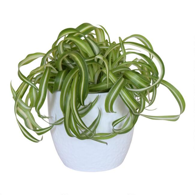 Live Spider Plant in White Ceramic Pot