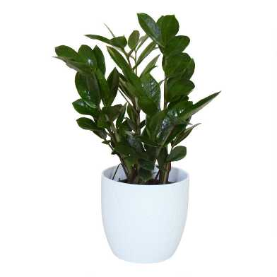 Live ZZ Plant in White Ceramic Pot